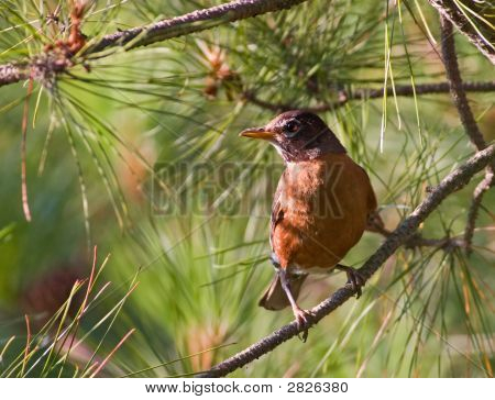American Robin Perched On A Branch