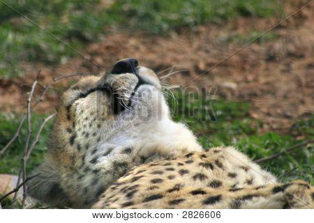 Cheetah Taking A Nap