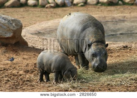 Pigmy Hippo With Baby