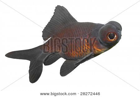 Chinese Goldfish Black moor (Carassius auratus), is a telescope-eyed variety of fancy goldfish.
