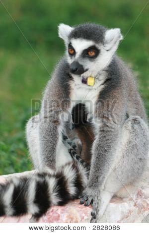 Exotic Endangered Animal - Lemur