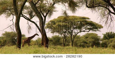 Wild Giraffe in a landscape