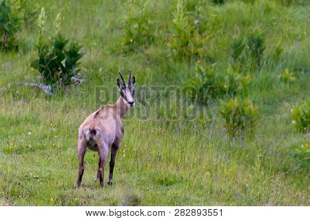 Chamois On Green Meadow With