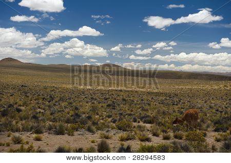 Lama On The Grass