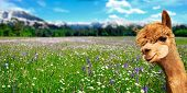Summer Landscape With Alpaca On Fresh Green Pastures With Flowers And Mountains In The Background poster