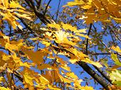 Maple Leaves Over Blue Sky poster