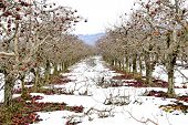 Pruned Trees Of An Apple Orchard In Winter, Image poster