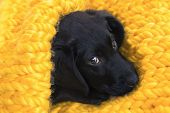 Cute Little Puppy Labrador Retriever Lying In A Cozy Nest Of Knitted Yellow Plaid. Baby Labrador Ret poster