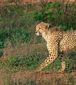 Cheetah - Exotic Animal poster