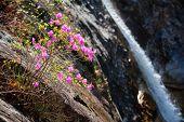Rhododendron Mucronulatum Korean Rhododendron flower  with Biryong Falls Waterfall in Seoraksan Nati poster