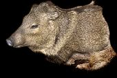 picture of javelina  - Taxidermy mount of a Javelina over black - JPG