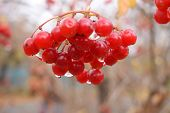 Red ripe berries of the viburnum. Red ripe viburnum berries close-up on a background of orange leave poster
