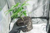 Professional Cannabis Cultivation. Cbd In Marijuana Roots. Cannabis Transplantation. Macro Healthy C poster