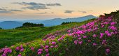 Rhododendron. View Of Blossoming Pink Rhododendron In Summer Mountains. poster