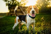 Dog Portrait Back Lit Background. Beagle With Tongue Out In Grass During Sunset In Fields Countrysid poster