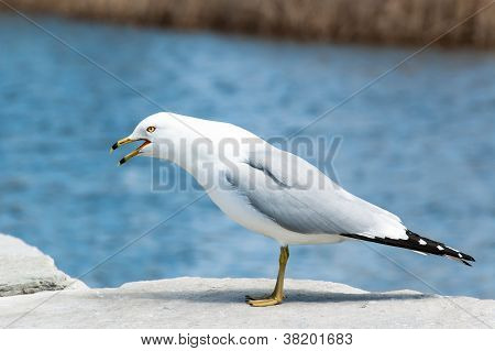 Screeching Ring-billed Gull On A Rock