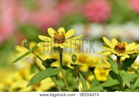 Zinnia Zahara Yellow.