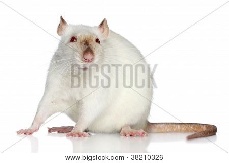 Rat On A White Background
