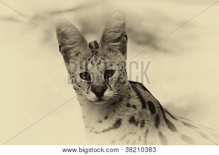 Sepia Toned Serval