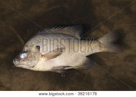 Dead fish floating in lake