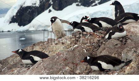 Nesting Penguins, Gentoo Penguin Rookery