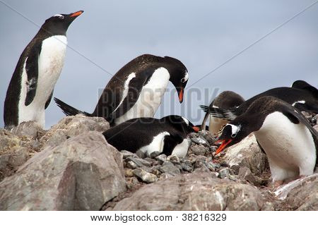 Gentoo Penguins, Nesting And Bickering