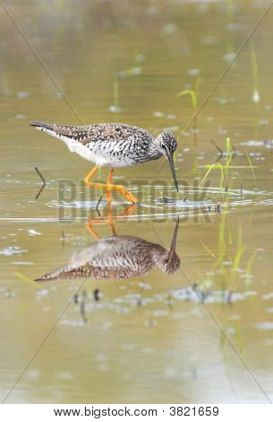 Greater Yellowlegs Reflections
