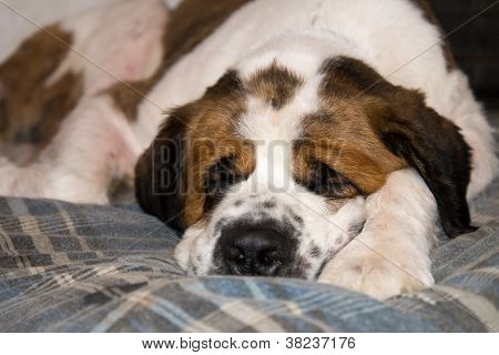 Sleeping Saint Benard Dog