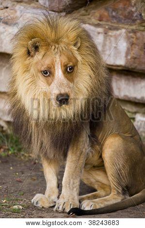 Dog Face Lion