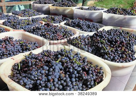 Baskets Of Wine Grapes