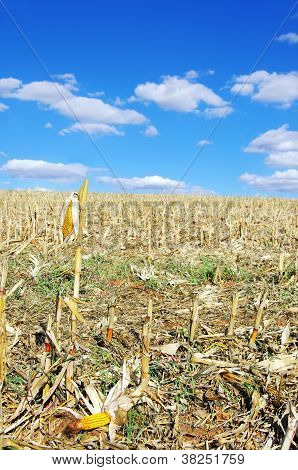 Stubble With Corn Cobs On The Ground