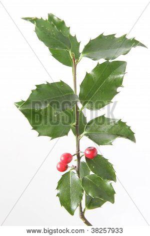 European Holly (Ilex aquifolium)