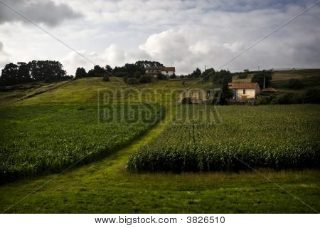 Fields Of Maize (Corn)