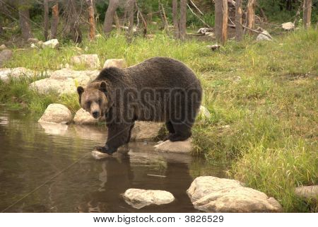 Young Male Grizzly Bear