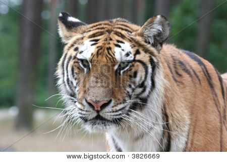 Tiger Portrait - Close Up Face Shot