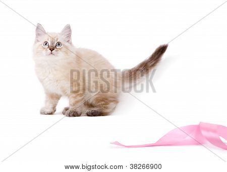 Cute british kitten playing with pink ribbon.