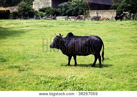 Zebu Humped Cattle Brahmin Cow