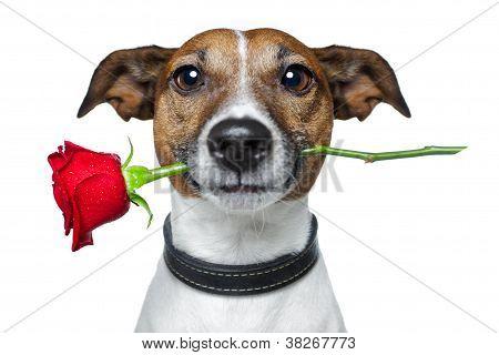 Valentinstag-Hund