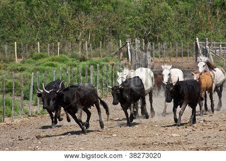 Charging Bulls and Horses
