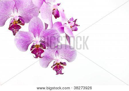 classic diagonal orchid arrangement on white