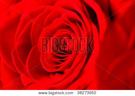 Close Up Red Rose