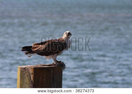 Osprey fish hawk on sea post with prey