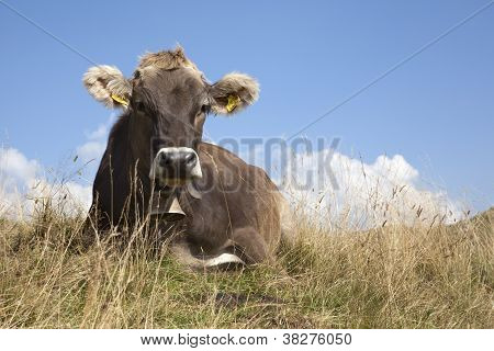 Swiss Cow Lying On The Grass