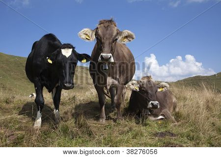 Three Swiss Cows On The Grass