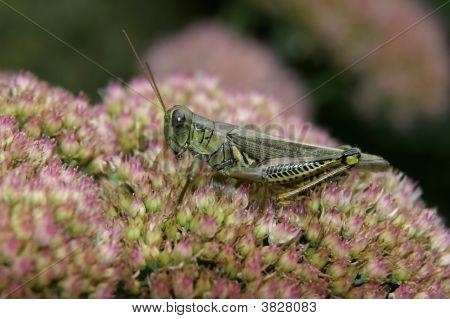 Grasshopper On A Sedum Plant
