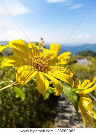 Mexican Sunflower Weed With Blue Sky