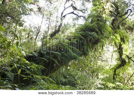 Amazing Ancient Tree Cover With Moss And Fern In Intanont National Park, Thailand