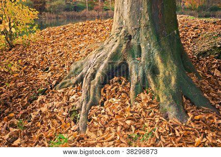 Root In Autumn  With Lot Of Leafs