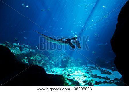 Manta Ray In The Deep Blue Ocean