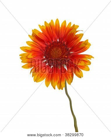 Yellow And Red Flower Of A Gaillardia On White